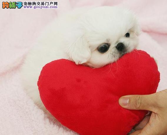极品纯种京巴犬在这里优惠纯种和健康