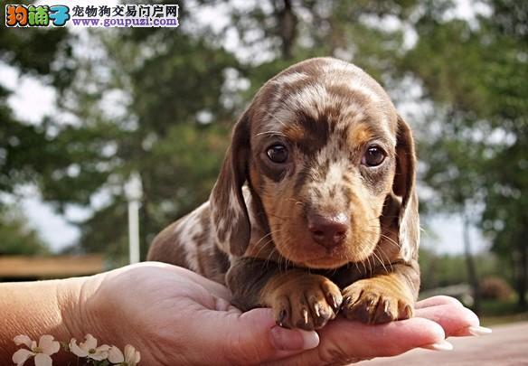 成都本地出售高品质腊肠犬宝宝微信咨询看狗狗视频