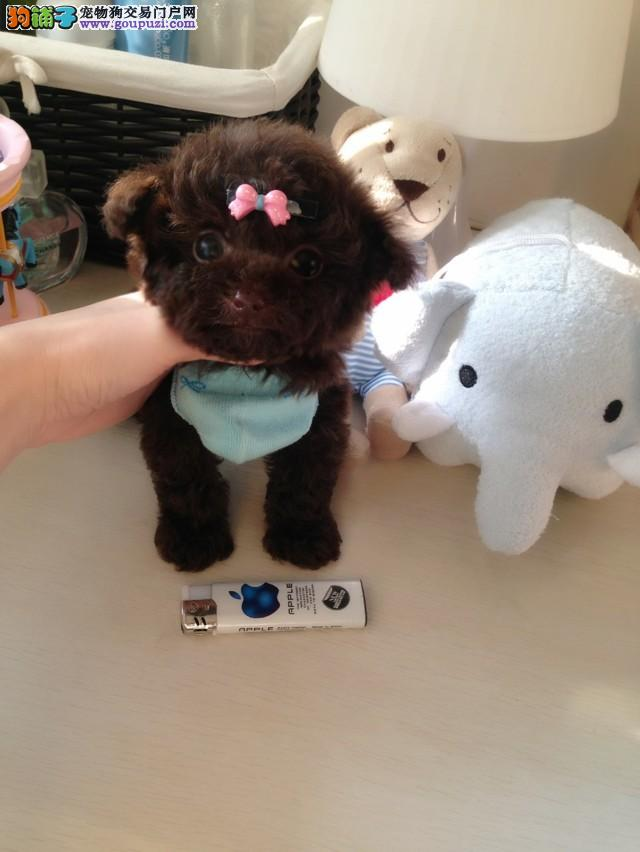 韩系纯种繁殖茶杯犬幼犬多只上门选购低价有惊喜