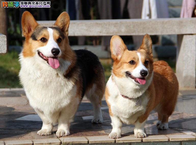 威尔士柯基犬宝宝 健康纯种 终身质保