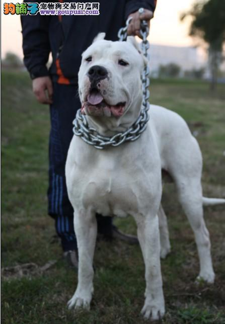 杜高犬价格,纯种杜高犬出售