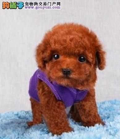 出售茶杯犬 保健康 保品质 保纯种