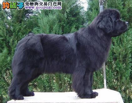 长沙正规狗场犬舍直销纽芬兰犬幼犬多种血统供选购