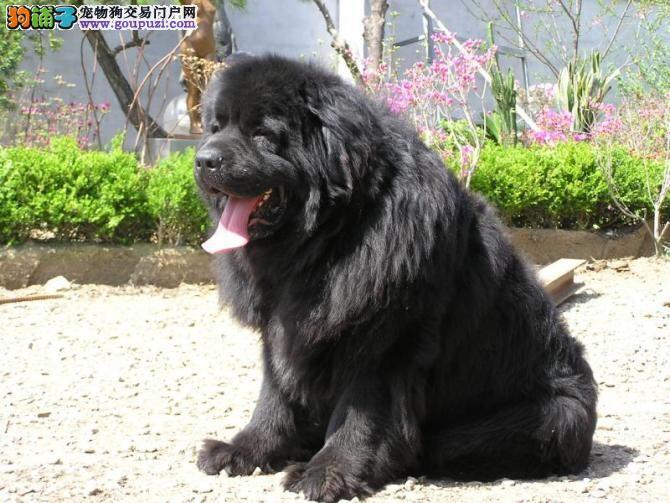 纽芬兰犬武汉最大的正规犬舍完美售后CKU认证绝对信誉保障