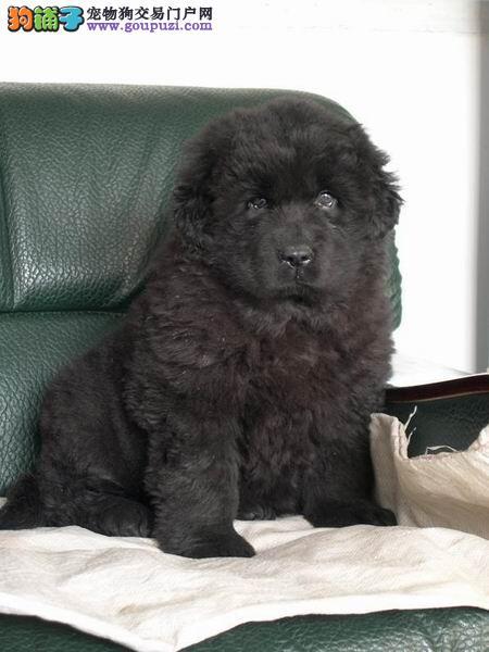 纯种纽芬兰犬直销 CKU认证犬舍 购犬可签协议