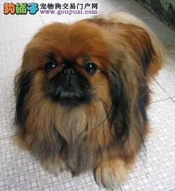 杭州哪里有京巴犬出售 杭州京巴多少钱一只