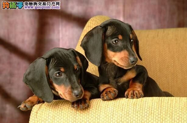 多种颜色的西安腊肠犬找爸爸妈妈提供护养指导