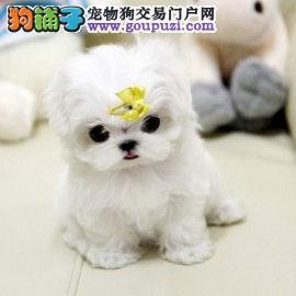 长沙出售马尔济斯幼犬正规犬舍繁殖完美售后保障