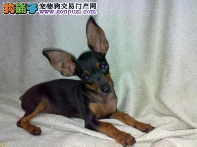 重庆小鹿犬多少钱,重庆哪里出售小鹿犬,小鹿犬图片
