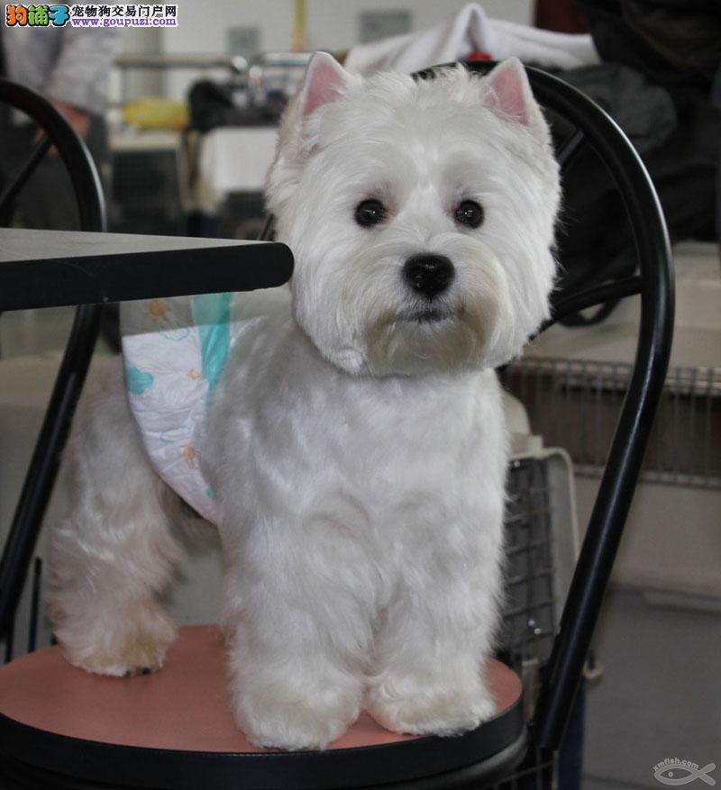 专业繁殖西高地犬 CKU认证犬舍 血统纯保健康签协