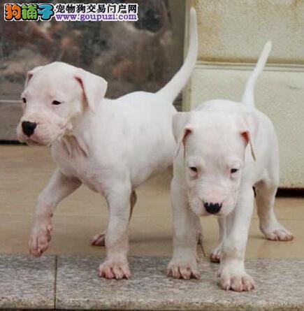 杜高犬成都最大的正规犬舍完美售后喜欢它的快来