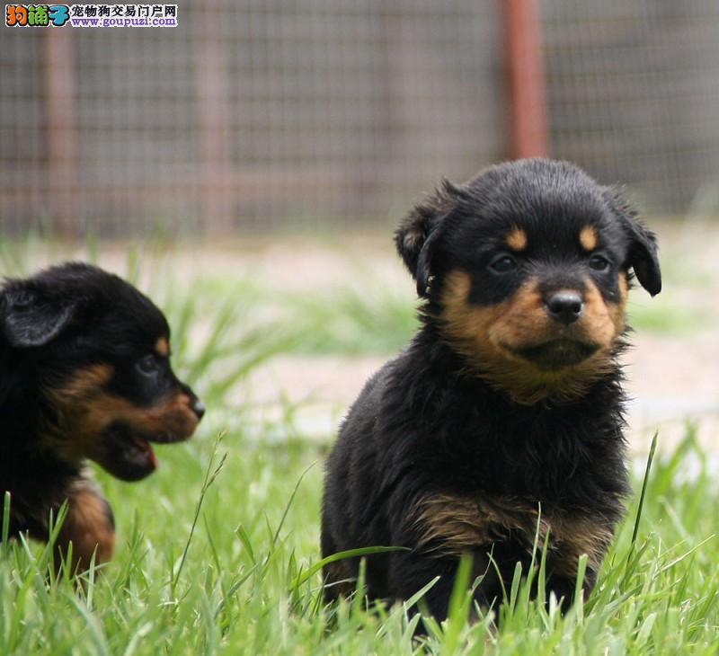 罗威纳贵阳最大的正规犬舍完美售后品相一流疫苗齐全