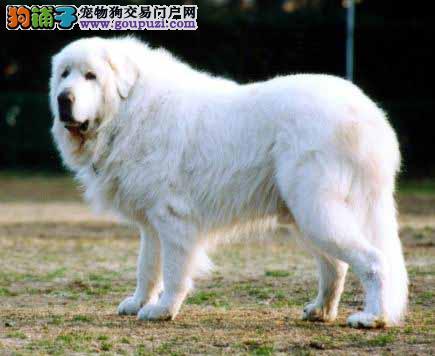 出售精品雪白大白熊幼犬