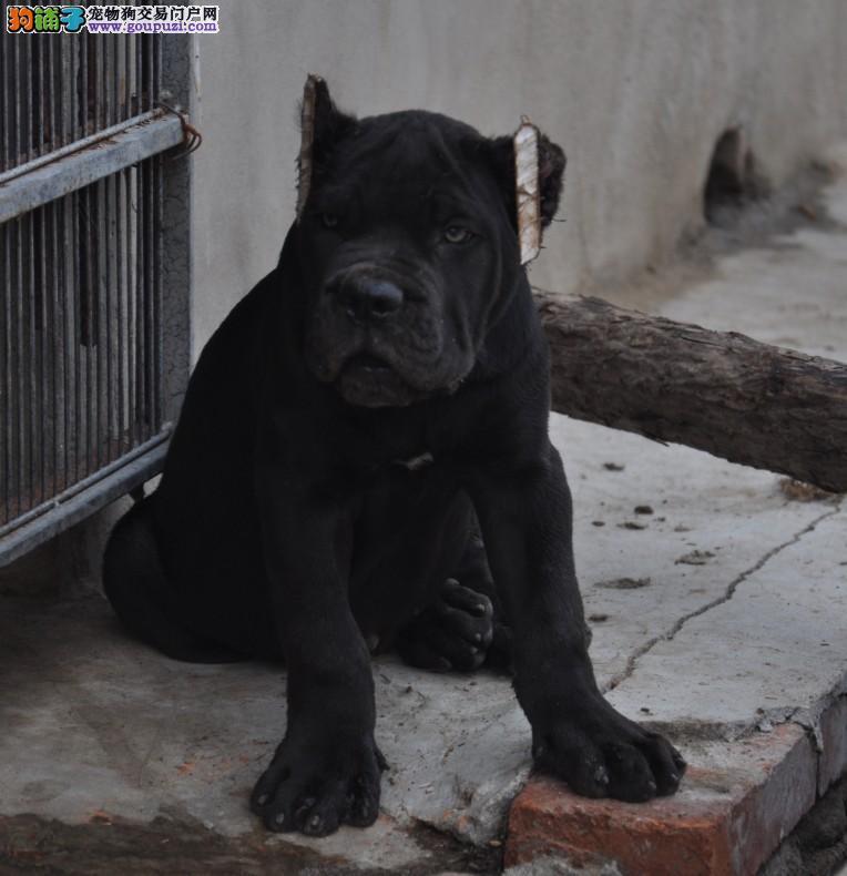犬舍出售双血统猛犬 卡斯罗幼仔