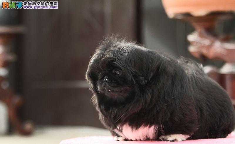 长沙哪里可以买到京巴犬小狗