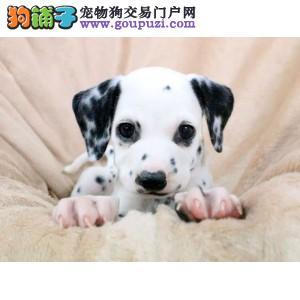 顶级斑点狗犬舍直销、让顾客买的优惠放心和纯种