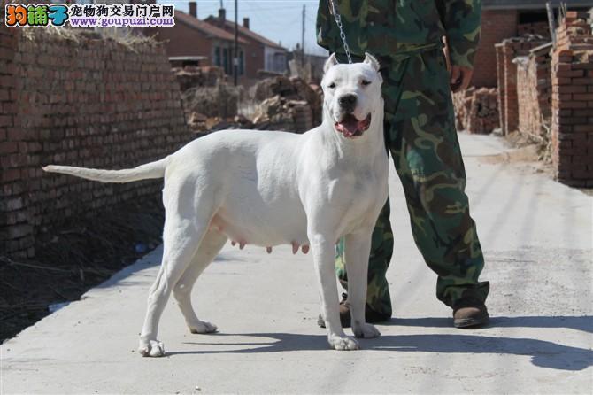 专业犬舍 精品杜高幼犬 包健康纯种 购犬签协议