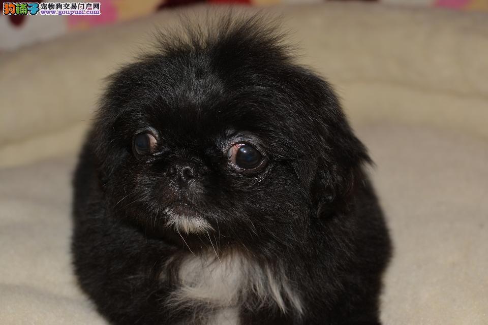 出售健康的京巴犬幼犬 疫苗已打 可上门选