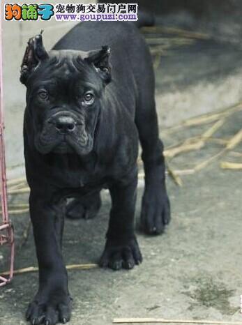 专业繁育卡斯罗幼犬重头版大骨量 成为您身边黑色勇士