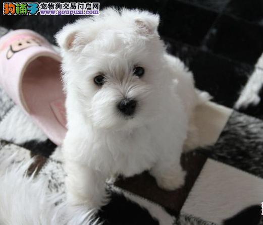 出售郑州西高地专业缔造完美品质爱狗人士优先