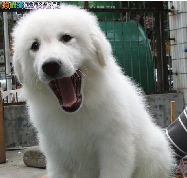 纯种犬繁殖基地 出售纯种大白熊幼犬 可签订质保协议