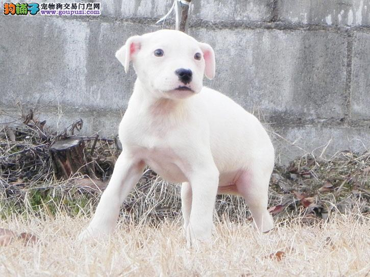 100%纯种健康的太原杜高犬出售终身完善售后服务