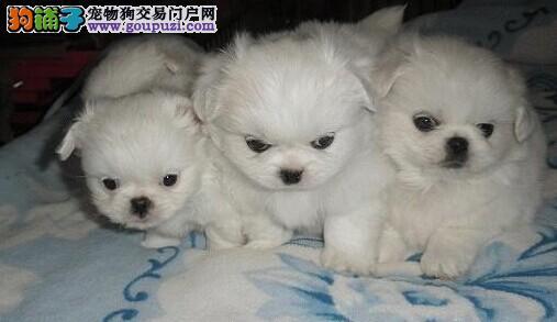 郑州出售京巴幼犬品质好有保障郑州当地上门挑选