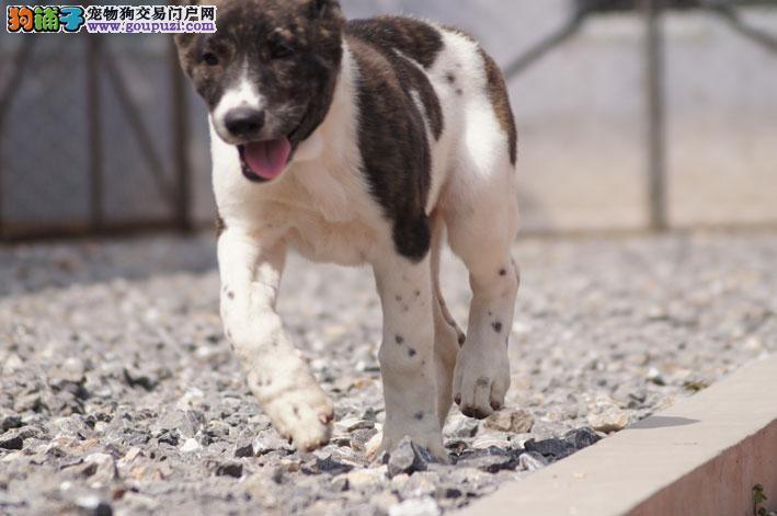 正规狗场犬舍直销中亚牧羊犬幼犬喜欢加微信可签署协议
