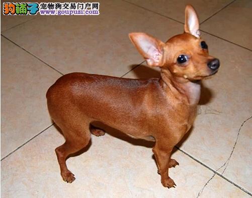 苏州吴中区小鹿犬您一看就知道正宗不