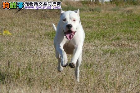 养殖基地出售各类纯种名犬杜高犬