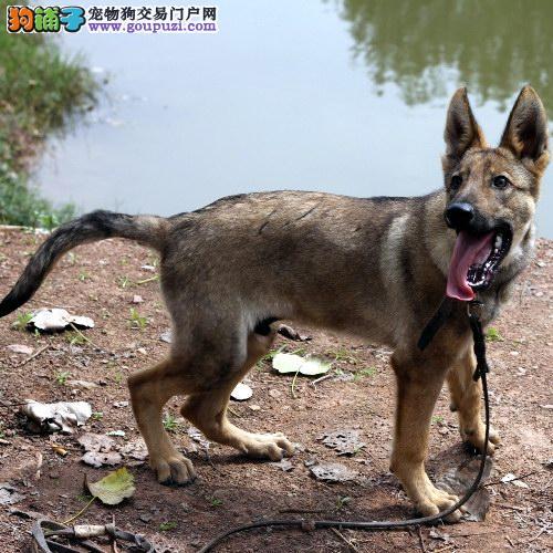 家养狼狗出售,低价热销保健康,提供养狗指导