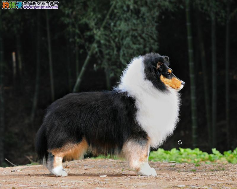 长沙喜乐蒂幼犬多少钱