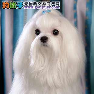 顶级马尔济斯宝宝,公母均有多只选择,提供养狗指导