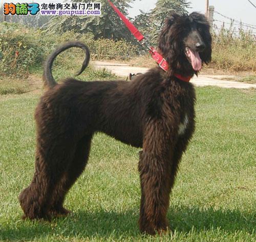 呼和浩特本地出售高品质阿富汗猎犬宝宝冠军级血统品质保障