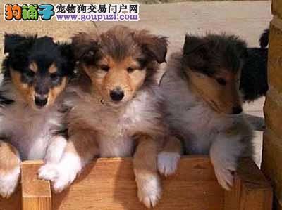 南京出售极品苏牧优惠纯种和健康CKU认证犬业