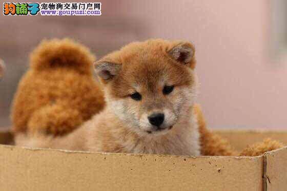 精品日本柴犬 血统好品相好 价钱低 喜欢的可以来