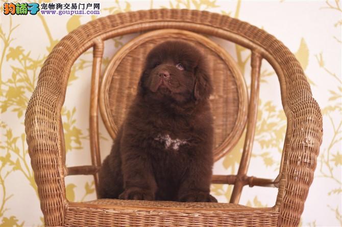 热销纽芬兰犬幼犬、假一赔十纯度第一、等您接它回家
