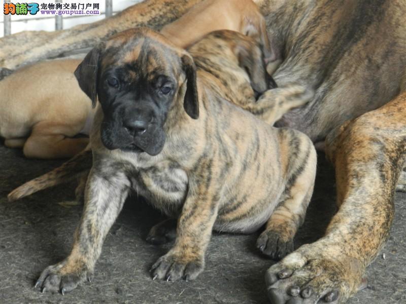 家养多只大丹犬宝宝出售中质保协议疫苗驱虫齐全