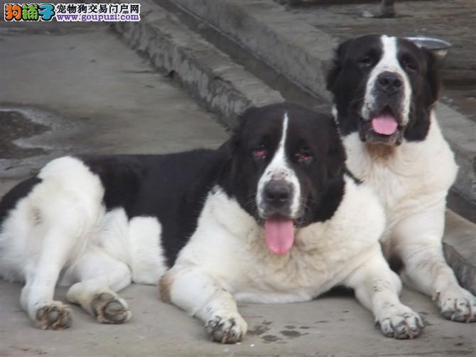 纯种赛级中亚牧羊犬,真实照片保纯保质,喜欢加微信
