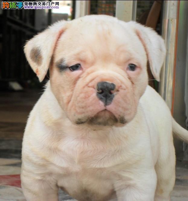 大连大型犬舍低价热卖极品美国斗牛犬国际血统证书