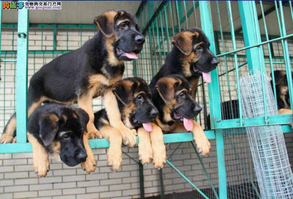 武汉养殖场直销完美品相的狼狗喜欢微信咨询