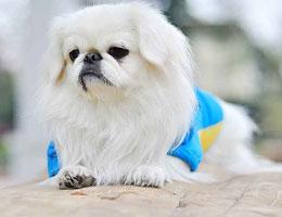 纯种京巴犬出售,品质有保证。