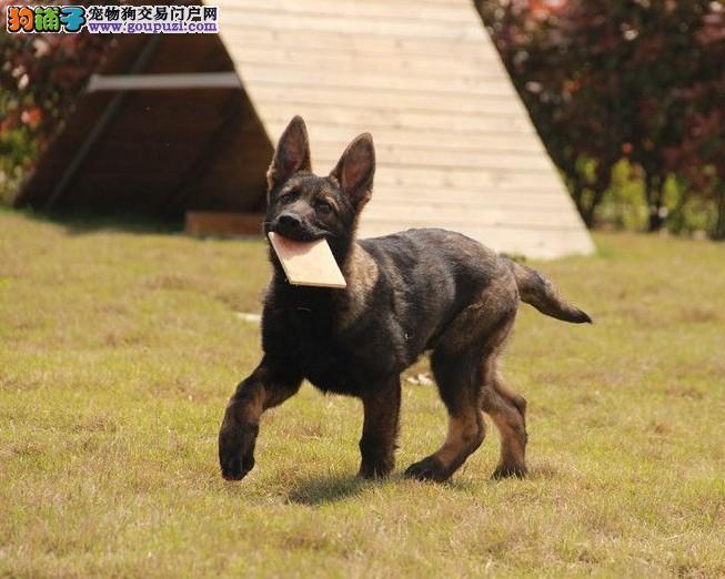 出售聪明伶俐金华马犬品相极佳购犬可签协议