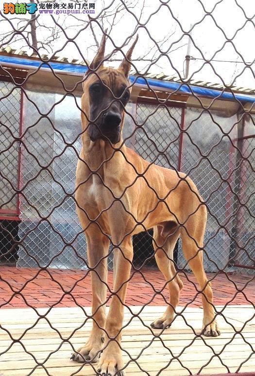 武汉正规狗场犬舍直销大丹犬幼犬专业繁殖中心值得信赖