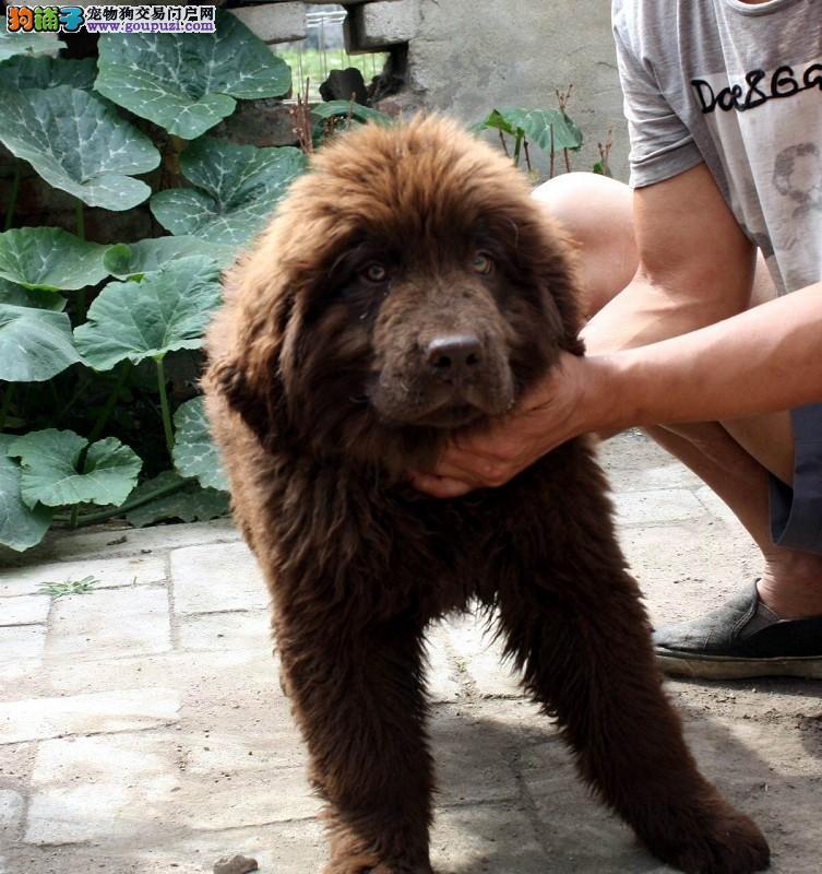 权威机构认证犬舍 专业培育纽芬兰犬幼犬购犬可签协议