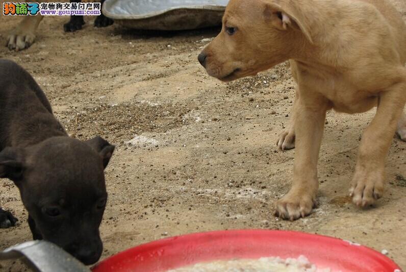 直销赛级比特犬,金牌店铺假一赔十,提供养狗指导