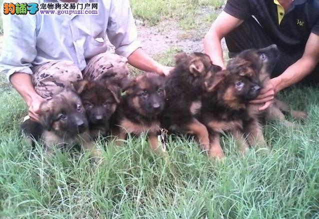长沙本地出售高品质昆明犬宝宝签订协议包细小犬瘟热