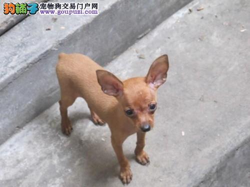广州哪里有卖小鹿犬名兴狗场出售纯种小鹿犬