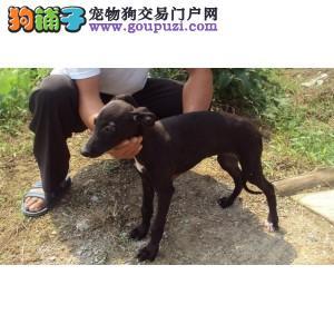 顶级大丹犬宝宝,顶级品质专业繁殖,签订正规合同