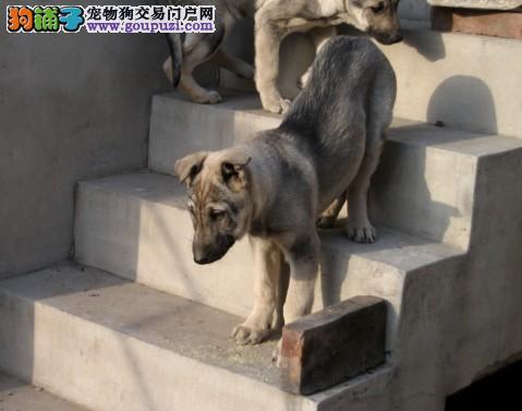 太原知名犬舍出售多只赛级狼狗价格低廉品质高